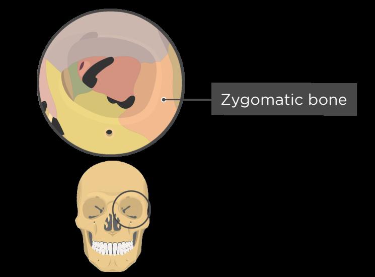 skull bones - orbital view - zygomatic bone - divisions