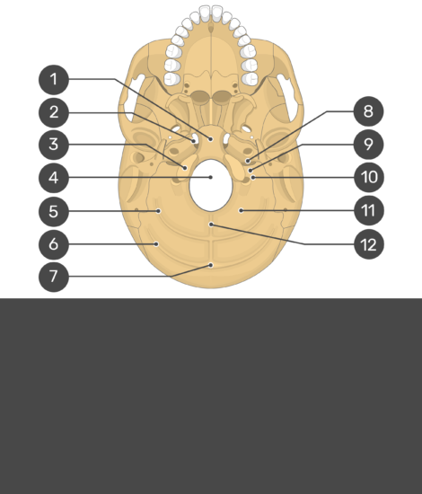 skull markings - inferior view- occipital bone - test yourself