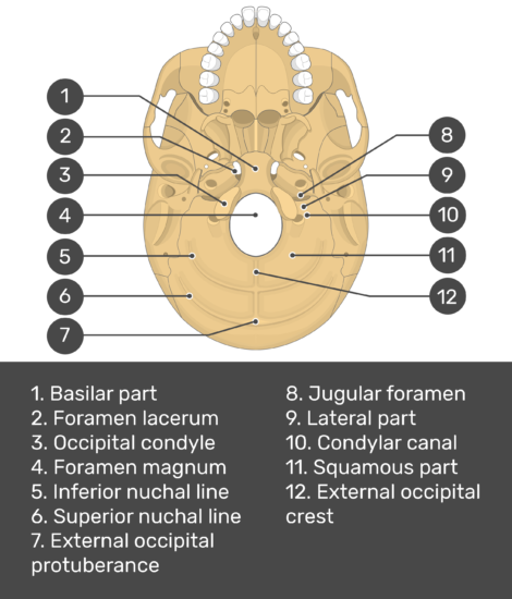 skull markings - inferior view- occipital bone - test yourself - answers