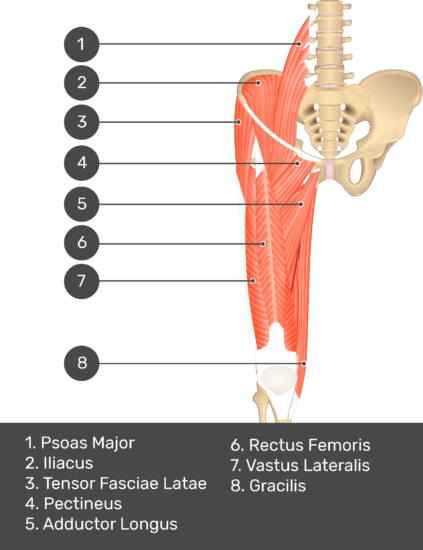 A quiz image of the anterior view of the thigh, pelvis and lower section of the vertebral column. The muscles of the anterior thigh are numbered 1 to 9. The answers revealed at the bottom are as follows 1. Psoas Major 2. Iliacus 3. Tensor Fasciae Latae 4. Pectineus 5. Adductor Longus 6. Rectus Femoris 7. Vastus Lateralis 8. Gracilis.
