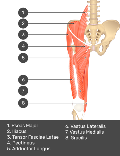 A quiz image of the anterior view of the thigh, pelvis and lower section of the vertebral column. The muscles of the anterior thigh are numbered 1 to 9. The answers revealed at the bottom are as follows 1. Psoas Major 2. Iliacus 3. Tensor Fasciae Latae 4. Pectineus 5. Adductor Longus 6. Vastus Lateralis 7. Vastus Medialis 8. Gracilis.