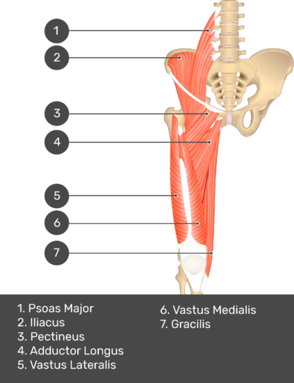 A quiz image of the anterior view of the thigh, pelvis and lower section of the vertebral column. The muscles of the anterior thigh are numbered 1 to 9. The answers revealed at the bottom are as follows 1. Psoas Major 2. Iliacus 3. Pectineus 4. Adductor Longus 5. Vastus Lateralis 6. Vastus Medialis 7. Gracilis.