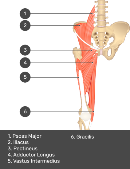 A quiz image of the anterior view of the thigh, pelvis and lower section of the vertebral column. The muscles of the anterior thigh are numbered 1 to 9. The answers revealed at the bottom are as follows 1. Psoas Major 2. Iliacus 3. Pectineus 4. Adductor Longus 5. Vastus Intermedius 6. Gracilis.