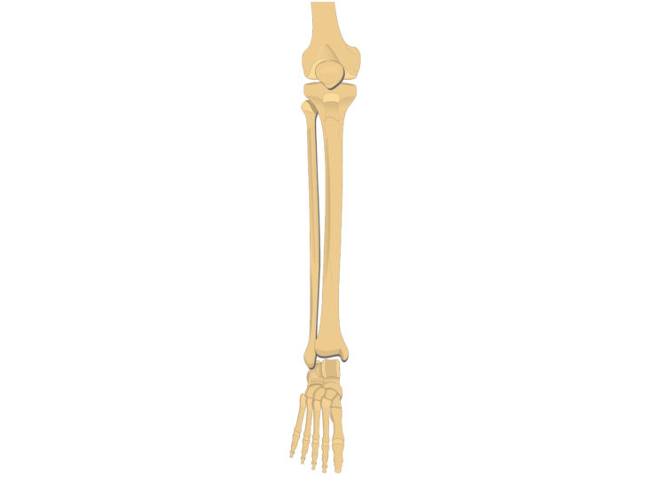tibia fibula - ankle joint