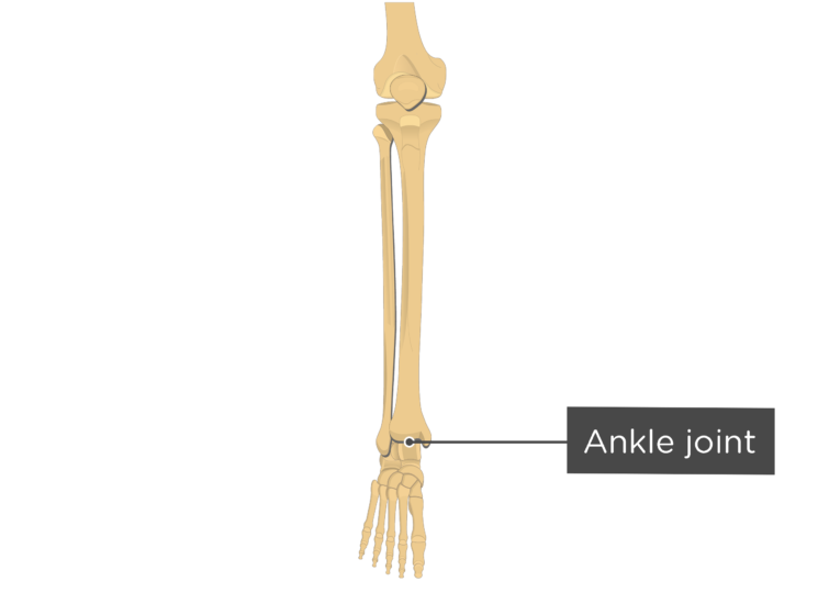 tibia fibula - ankle joint - label