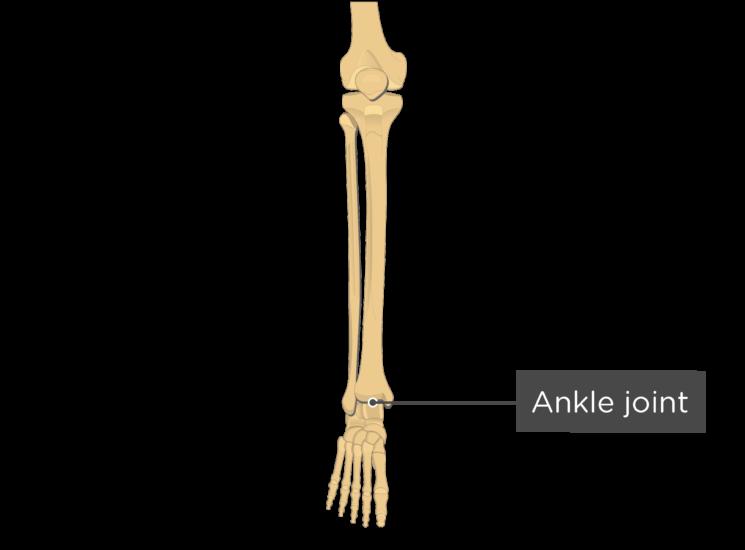 tibia fibula - ankle joint - label