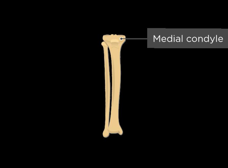 tibia fibula - anterior view - medial condyle