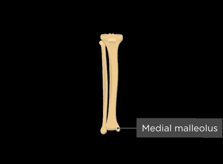 tibia fibula - anterior view - medial malleolus