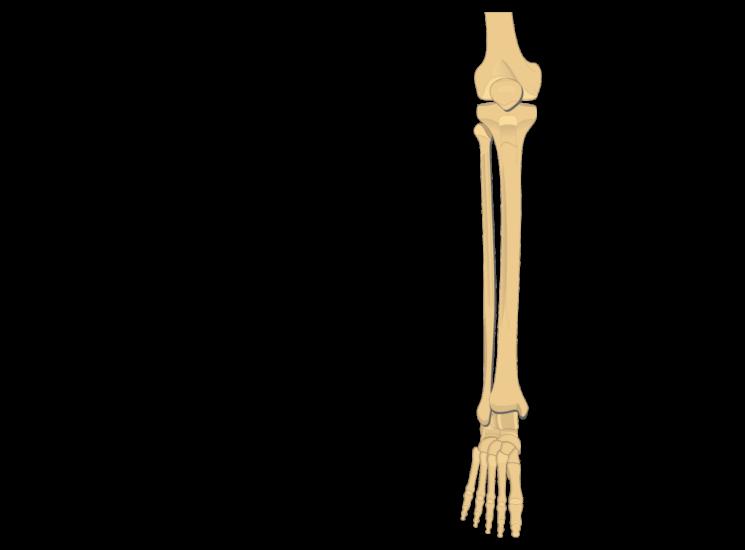 tibia fibula - articulation