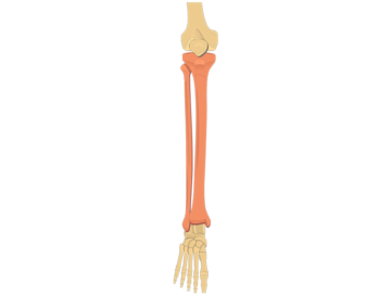 tibia fibula - featured image