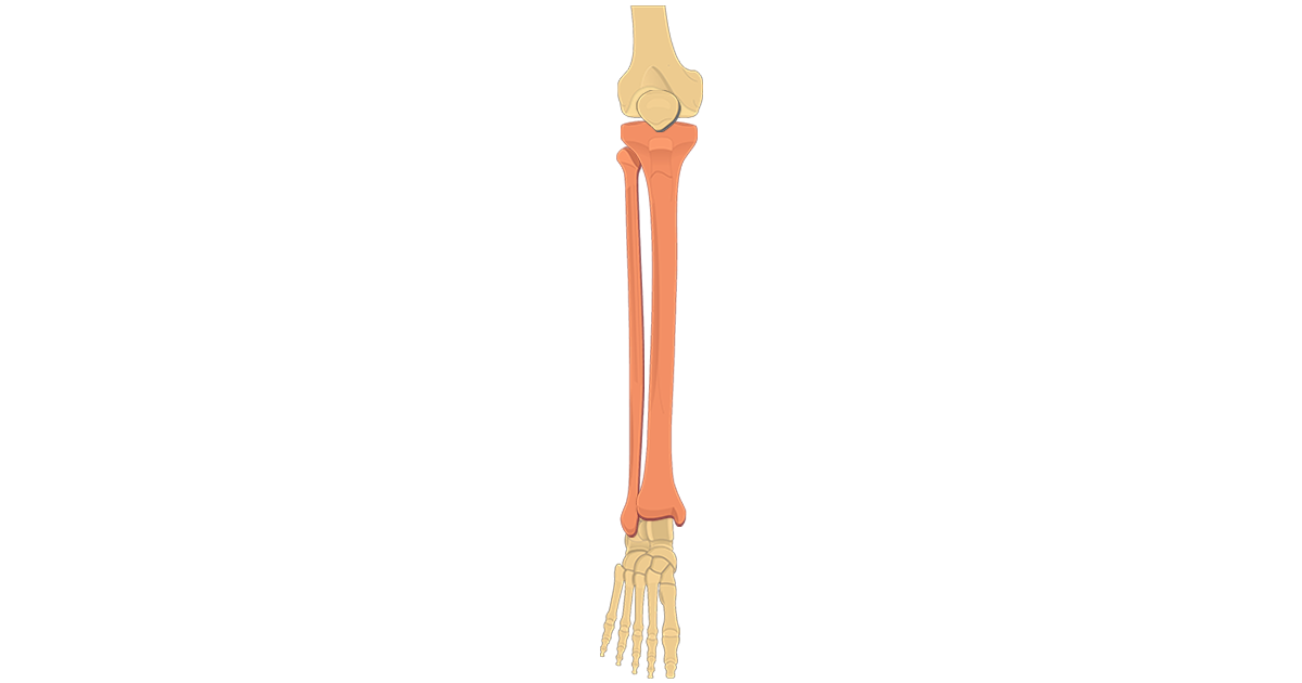 Tibia and Fibula Bones - Introduction