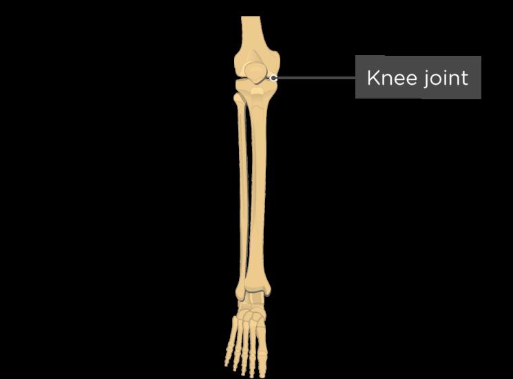 Tibia And Fibula Bones Introduction