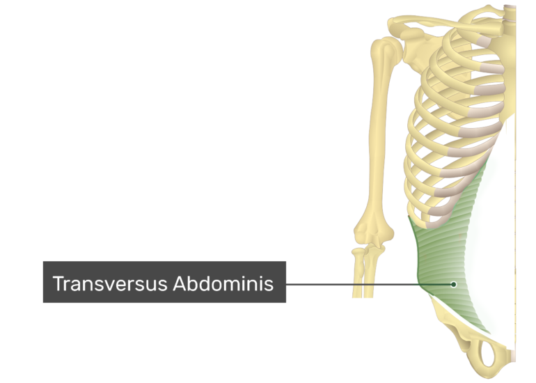 Transversus Abdominis with label