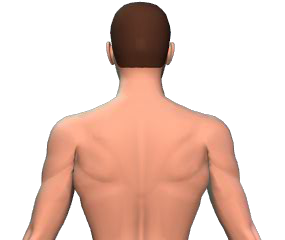 Contralateral rotation of the vertebral column animation slide 1
