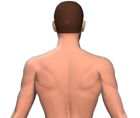 Contralateral rotation of the vertebral column animation slide 3