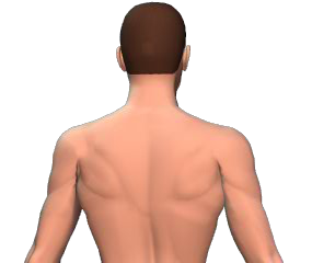 Contralateral rotation of the vertebral column animation slide 4