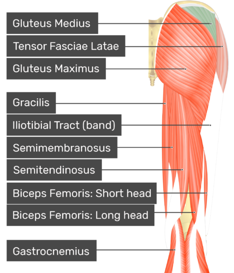 posterior view of the thigh and gluteal region with gluteus medius highlighted. Labelled muscles: gluteus maximus, gluteus medius, tensor fasciae latae, gracilis, iliotibial tract (band), semimembranosus, semitendinosus, biceps femoris: short head, biceps femoris: long head, gastrocnemius.