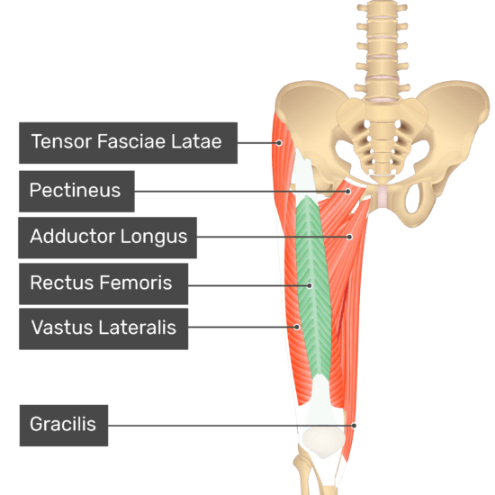 The anterior view of the thigh, pelvis and lower section of the vertebral column. The visible labelled muscles include Tensor Fasciae Latae, Pectineus, Adductor Longus, Vastus Lateralis, Rectus Femoris (highlighted in green) and Gracilis.