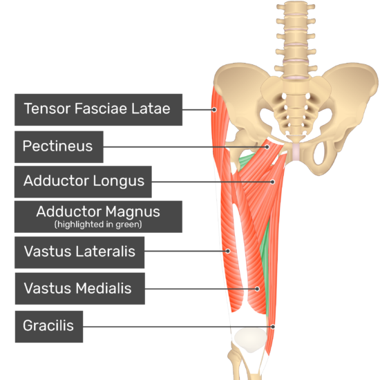 The anterior view of the thigh, pelvis and lower section of the vertebral column. The visible labelled muscles include Tensor Fasciae Latae, Pectineus Adductor Longus, Vastus Lateralis, Vastus Medialis, Gracilis and Adductor Magnus showing through (highlighted green).