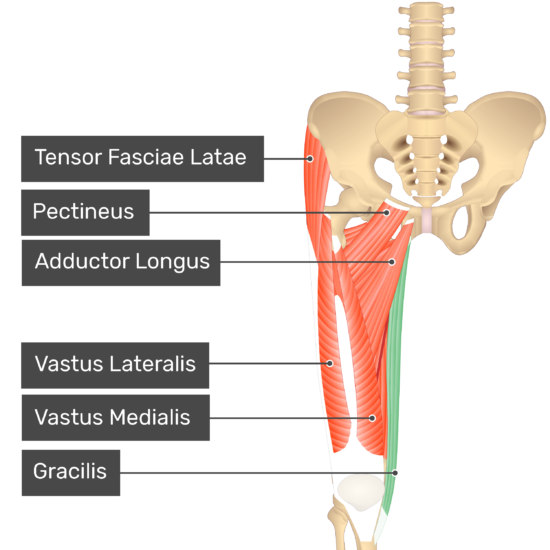 The anterior view of the thigh, pelvis and lower section of the vertebral column. The visible labelled muscles include Tensor Fasciae Latae, Pectineus, Adductor Longus, Vastus Lateralis, Vastus Medialis and Gracilis (highlighted green).
