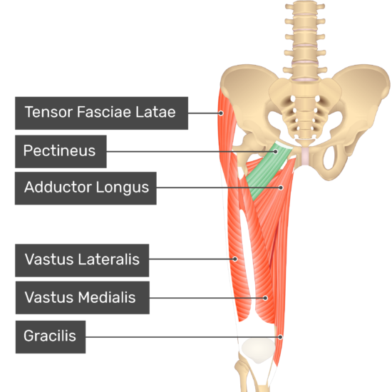 The anterior view of the thigh, pelvis and lower section of the vertebral column. The visible labelled muscles include Tensor Fasciae Latae, Pectineus (highlighted in green), Adductor Longus, Vastus Lateralis, Vastus Medialis, Gracilis.