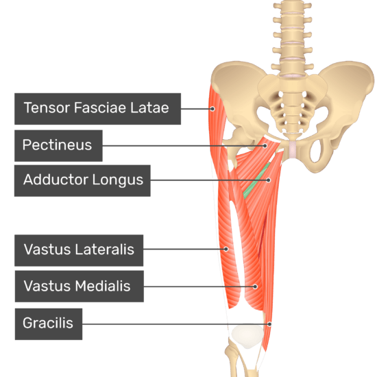 The anterior view of the thigh, pelvis and lower section of the vertebral column. The visible labelled muscles include Tensor Fasciae Latae, Pectineus, Adductor Longus, Vastus Lateralis, Vastus Medialis, Gracilis. Adductor Brevis is not labelled, but is highlighted in green.