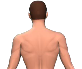 Lateral flexion of the vertebral column animation slide 2