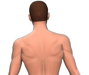 Lateral flexion of the vertebral column animation slide 3