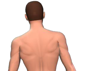 Lateral flexion of the vertebral column animation slide 4