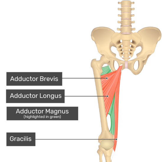 The anterior view of the thigh, pelvis and lower section of the vertebral column. The visible labelled muscles include Adductor Brevis, Adductor Longus, Gracilis and Adductor Magnus showing through (highlighted green).