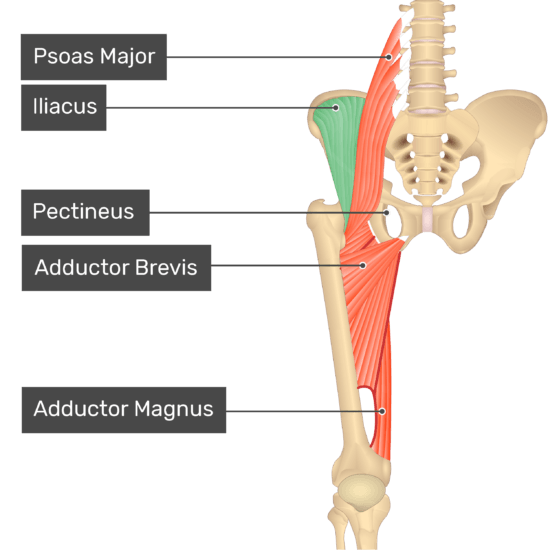 The anterior view of the thigh, pelvis and lower section of the vertebral column. The visible labelled muscles include Psoas Major, Iliacus (highlighted in green), Pectineus, Adductor Brevis, Adductor Magnus.