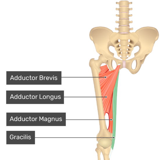 The anterior view of the thigh, pelvis and lower section of the vertebral column. The visible labelled muscles include Adductor Brevis, Adductor Longus, Adductor Magnus and Gracilis (highlighted green).