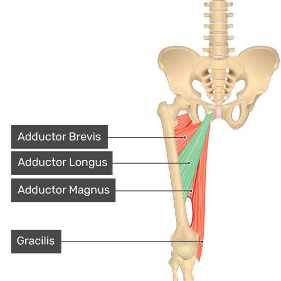 The anterior view of the thigh, pelvis and lower section of the vertebral column. The visible labelled muscles include Adductor Brevis, Adductor Magnus, Gracilis and Adductor Longus (highlighted in green).