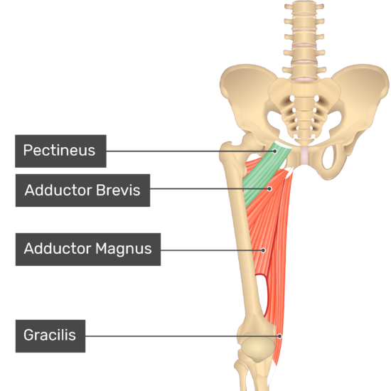 The anterior view of the thigh, pelvis and lower section of the vertebral column. The visible labelled muscles include Pectineus (highlighted in green), Adductor Brevis, Adductor Magnus and Gracilis.