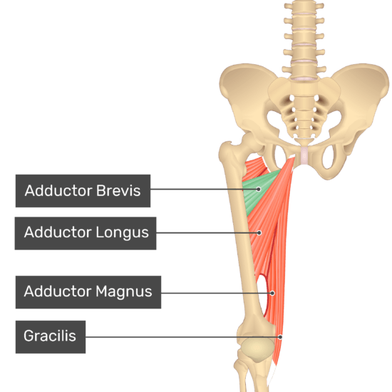 The anterior view of the thigh, pelvis and lower section of the vertebral column. The visible labelled muscles include Adductor Brevis (highlighted in green), Adductor Longus, Adductor Magnus and Gracilis.