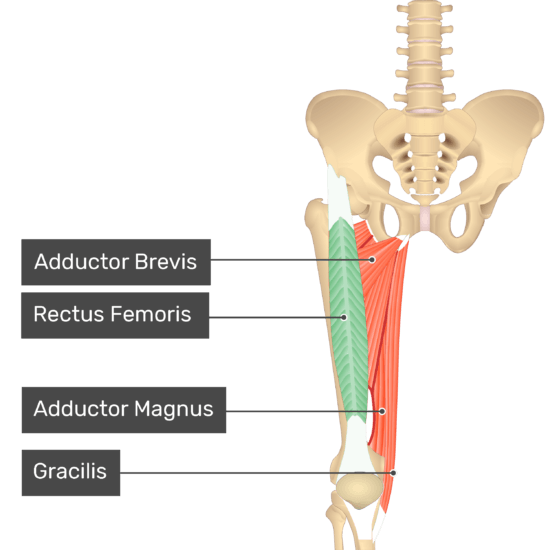 The anterior view of the thigh, pelvis and lower section of the vertebral column. The visible labelled muscles include Adductor Brevis, Rectus Femoris (highlighted in green), Adductor Magnus and Gracilis.