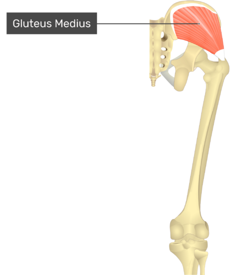 posterior view of the thigh and gluteal region showing only gluteus medius