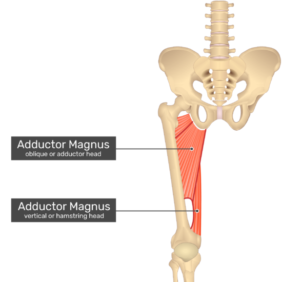 The anterior view of the thigh, pelvis and lower section of the vertebral column. The only visible labelled muscle is Adductor Magnus. The oblique or adductor head and the vertical or hamstring head are labelled separately.