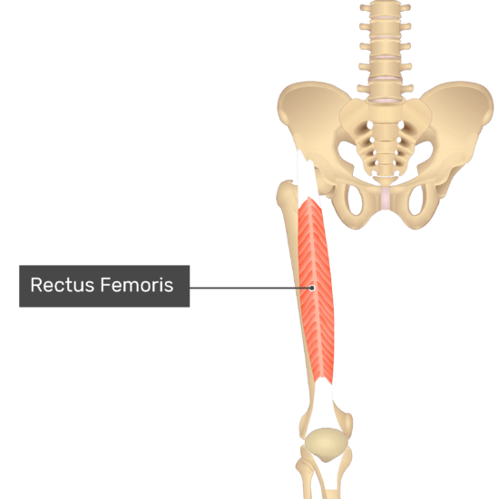 The anterior view of the thigh, pelvis and lower section of the vertebral column. The only visible labelled muscle is Rectus Femoris