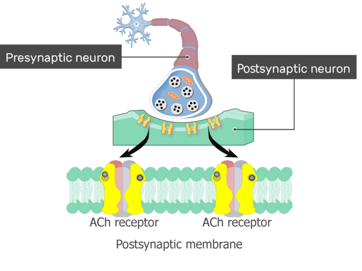 An image showing ACh molecules binding the ACh receptors on the postsynaptic membrane, the postsynaptic membrane and ACh receptors are magnified