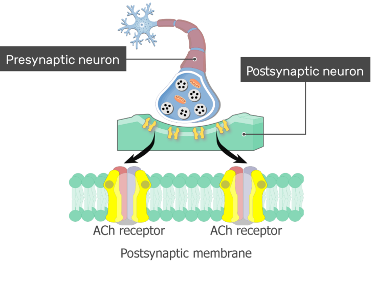 An image showing the Acetylcholine Receptor consists of presynaptic cholinergic neuron acting on ACh postsynaptic receptor with labels for (Presynaptic neuron and Postsynaptic membrane), the postsynaptic membrane is magnified