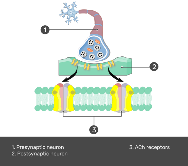 Test yourself image image showing the Acetylcholine Receptor consists of presynaptic cholinergic neuron acting on ACh postsynaptic receptor, (1. Presynaptic neuron 2. Postsynaptic neuron 3. ACh receptors ) are numbered with answers below, the postsynaptic membrane is magnified