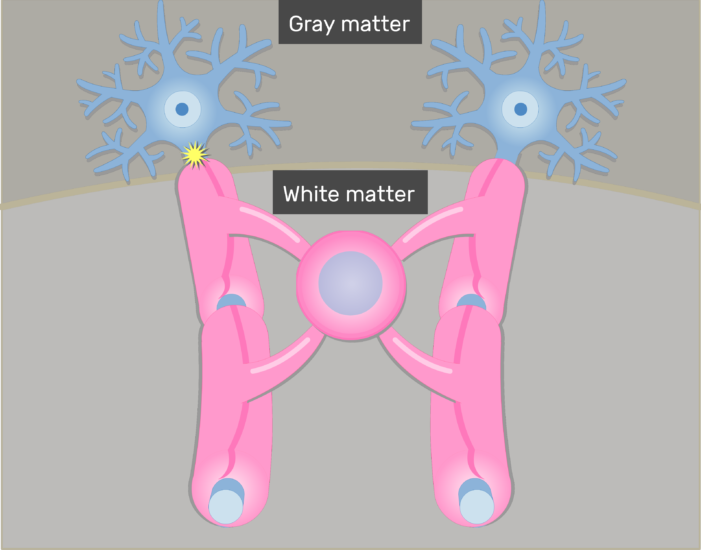 An image showing the jumping of Action potentials from node to node in addition to Oligodendrocytes giving branches to neurons axons through its Cytoplasmic processes in the white matter