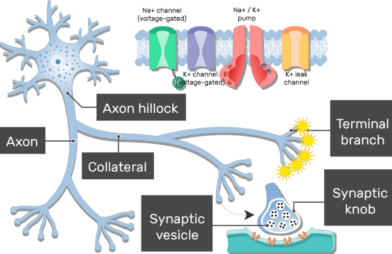 An image of a neuron showing the action potential moving from the neuron body to the terminal branches passing through the axon