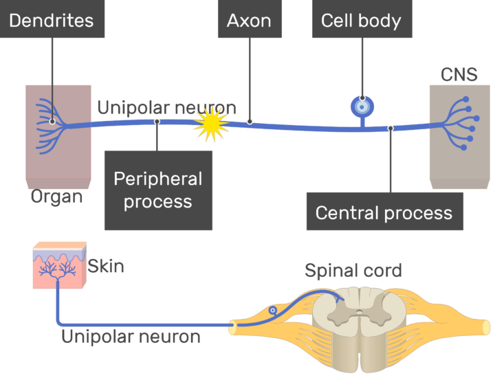 An image showing the action potential conduction through unipolar neuron, the image contains (1. Dendrites 2. Peripheral process 3. Axon 5. Cell body 6. Central process) all labeled