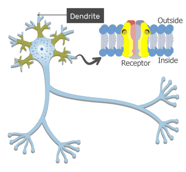 An image showing the action potential generation from the dendrites moving through the body to the axon