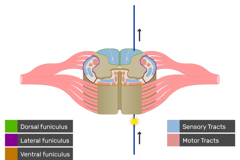 An image showing the sensory tract action potential movement, Motor Tracts, Sensory Tracts, Ventral funiculus, Lateral funiculus and Dorsal funiculus inside the spinal cord segment