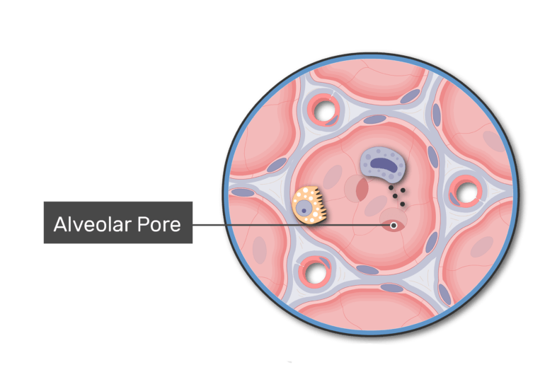 Small openings called alveolar pores perforate the interalveolar wall