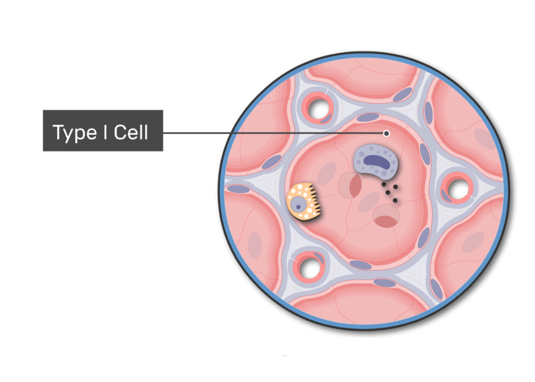 Simple squamous epithelial type I cells