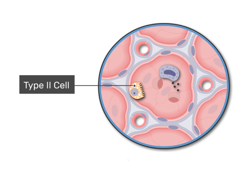 Simple squamous epithelial type 2 cells